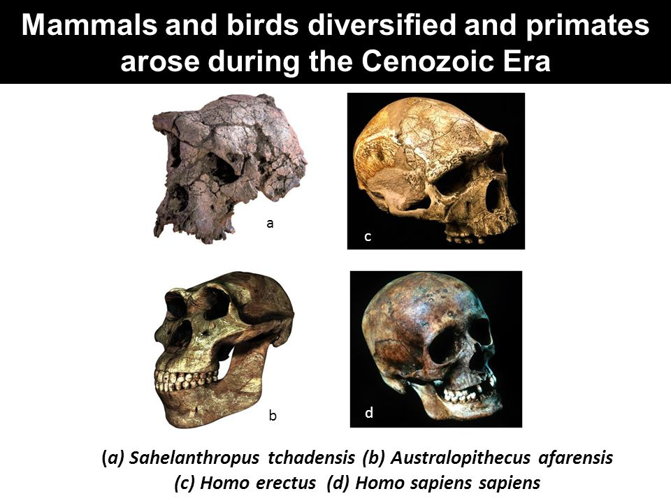 Mammals and birds diversified and primates arose during the Cenozoic Era