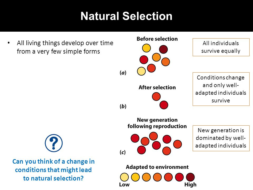 Natural Selection All living things develop over time from a very few simple forms. All individuals survive equally.