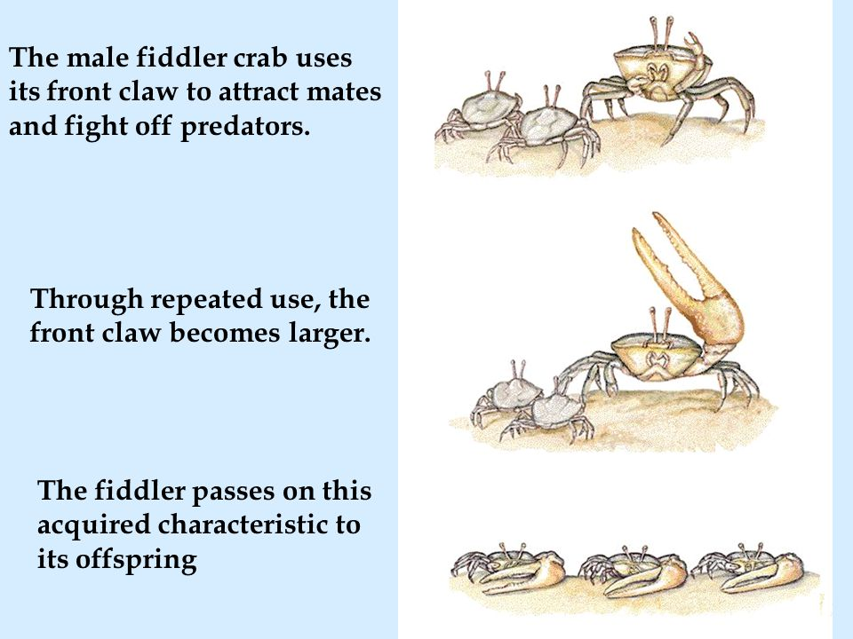 The male fiddler crab uses its front claw to attract mates and fight off predators.