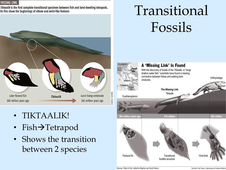 Transitional Fossils TIKTAALIK! FishTetrapod
