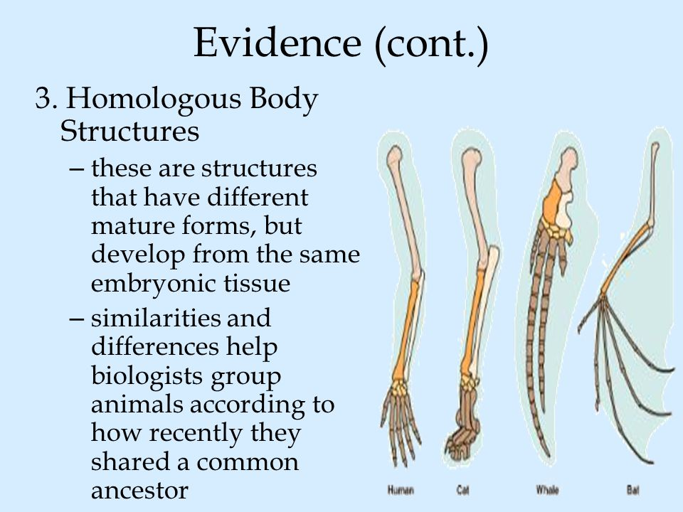 Evidence (cont.) 3. Homologous Body Structures
