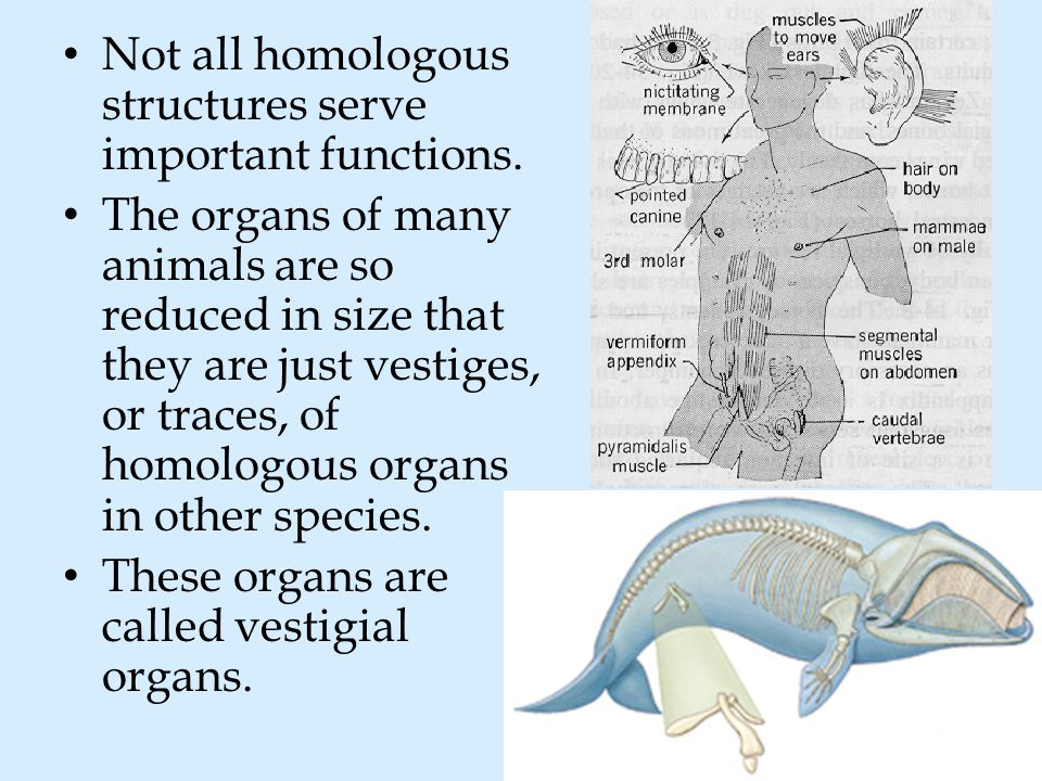 Not all homologous structures serve important functions.