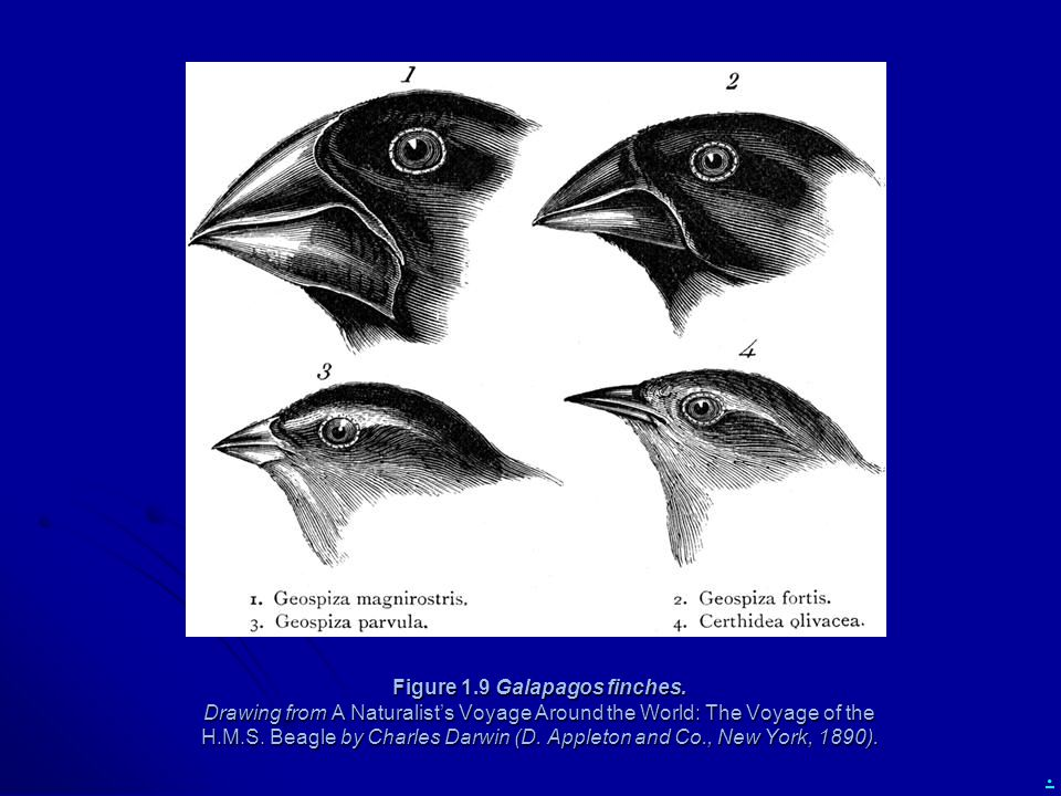 Figure 1. 9 Galapagos finches