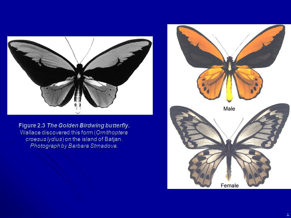 Figure 2. 3 The Golden Birdwing butterfly
