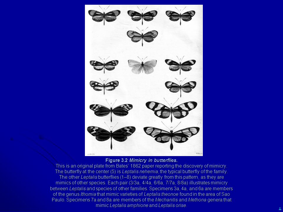 Figure 3. 2 Mimicry in butterflies