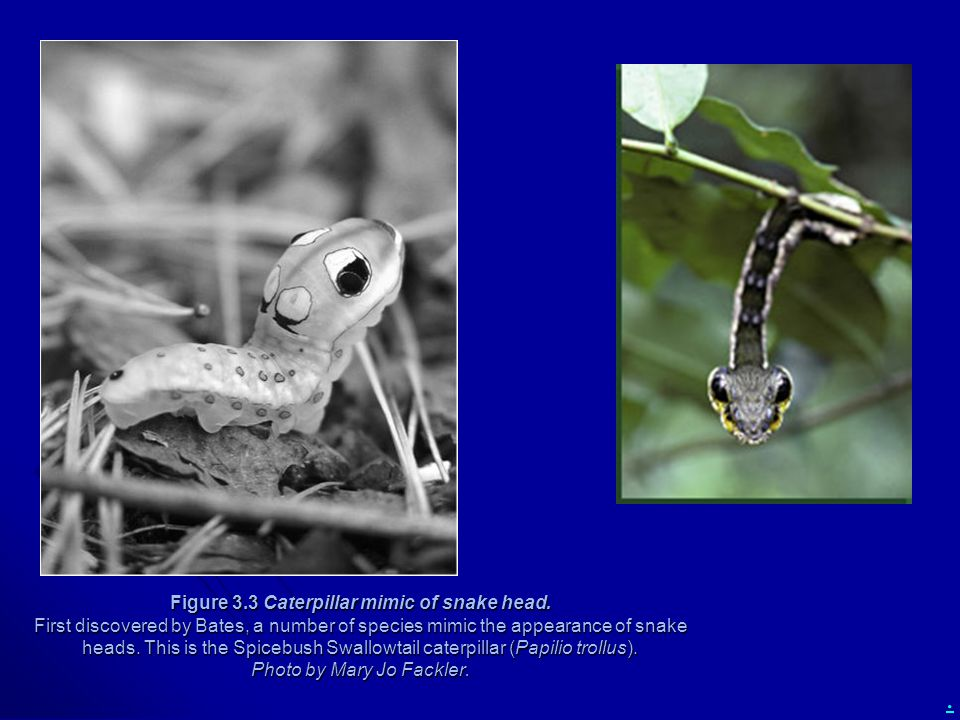 Figure 3. 3 Caterpillar mimic of snake head
