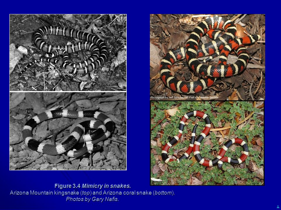 Figure 3. 4 Mimicry in snakes