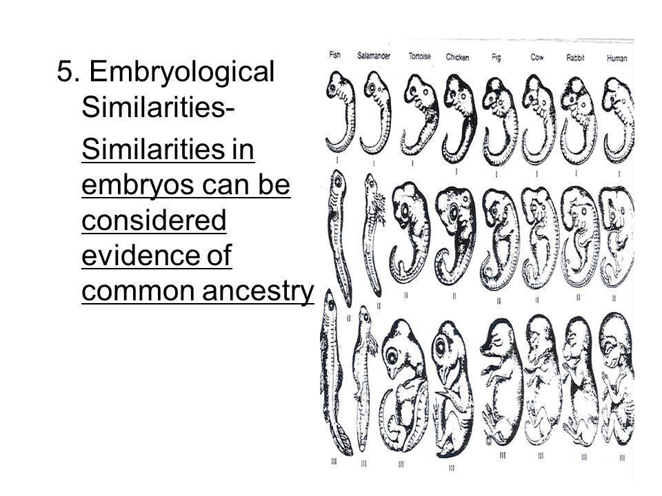 5. Embryological Similarities-