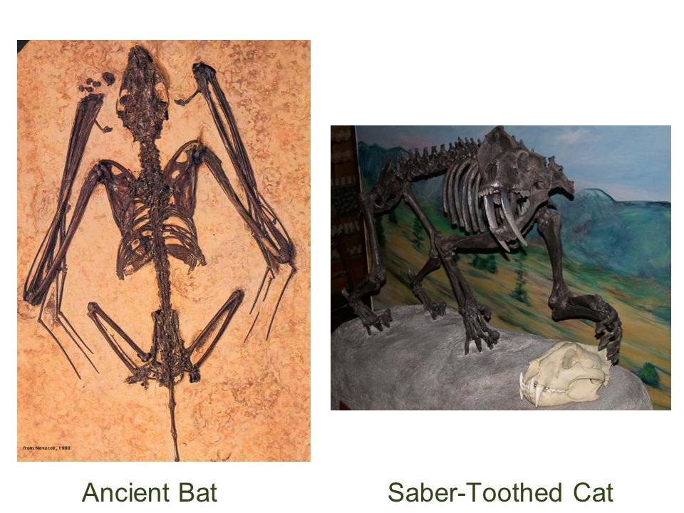 Ancient Bat Saber-Toothed Cat