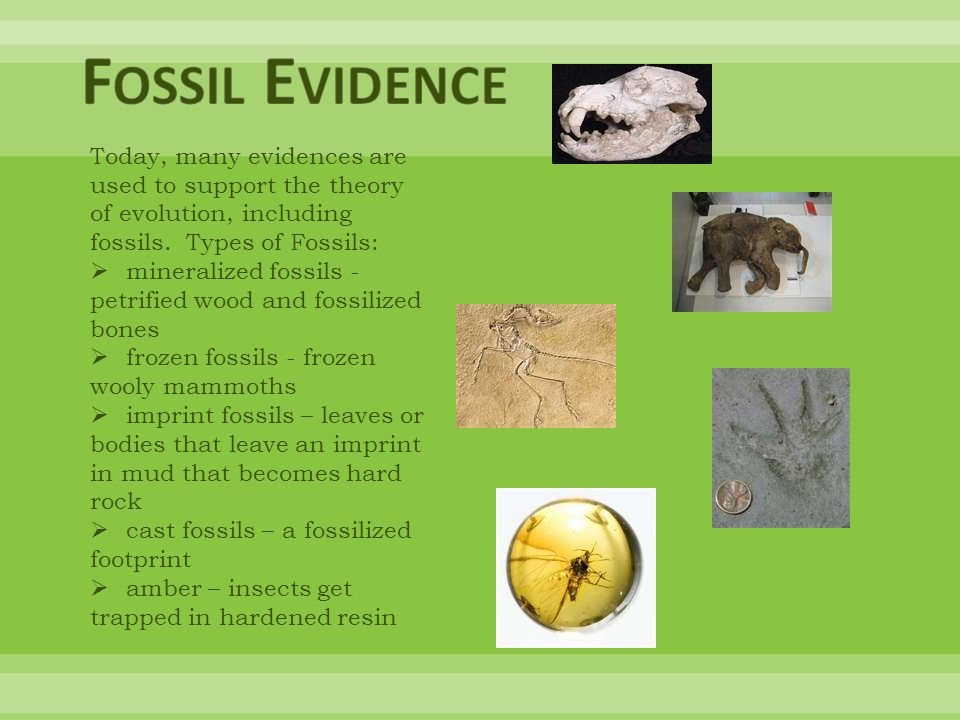 Fossil Evidence Today, many evidences are used to support the theory of evolution, including fossils. Types of Fossils: