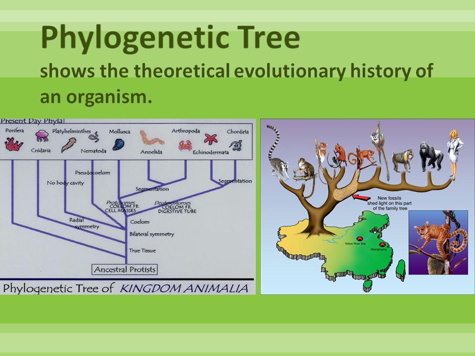 Phylogenetic Tree shows the theoretical evolutionary history of an organism.