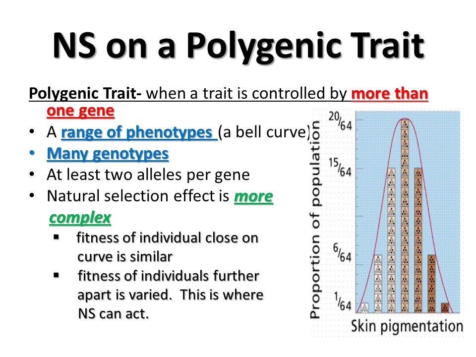 NS on a Polygenic Trait Polygenic Trait- when a trait is controlled by more than one gene. A range of phenotypes (a bell curve)