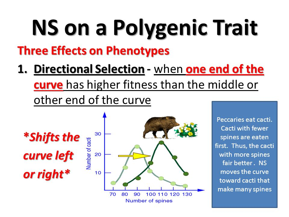 NS on a Polygenic Trait Three Effects on Phenotypes