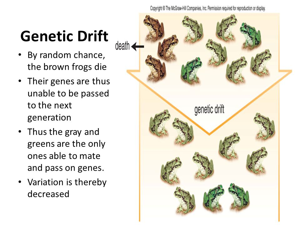 Genetic Drift By random chance, the brown frogs die