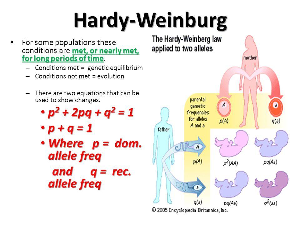 Hardy-Weinburg p2 + 2pq + q2 = 1 p + q = 1 Where p = dom. allele freq