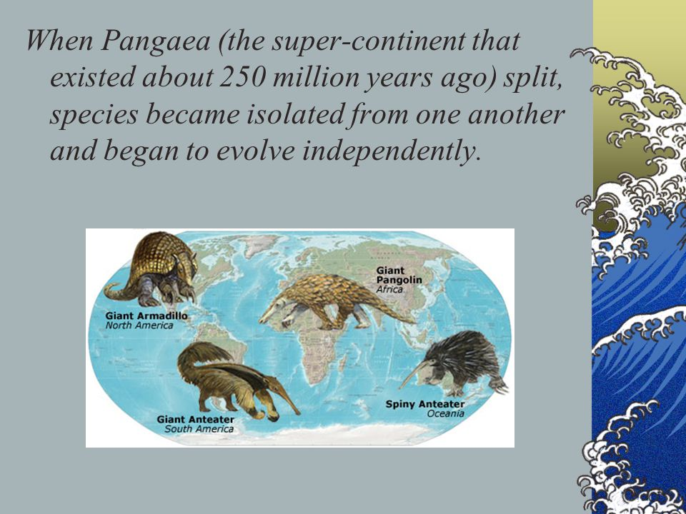 When Pangaea (the super-continent that existed about 250 million years ago) split, species became isolated from one another and began to evolve independently.