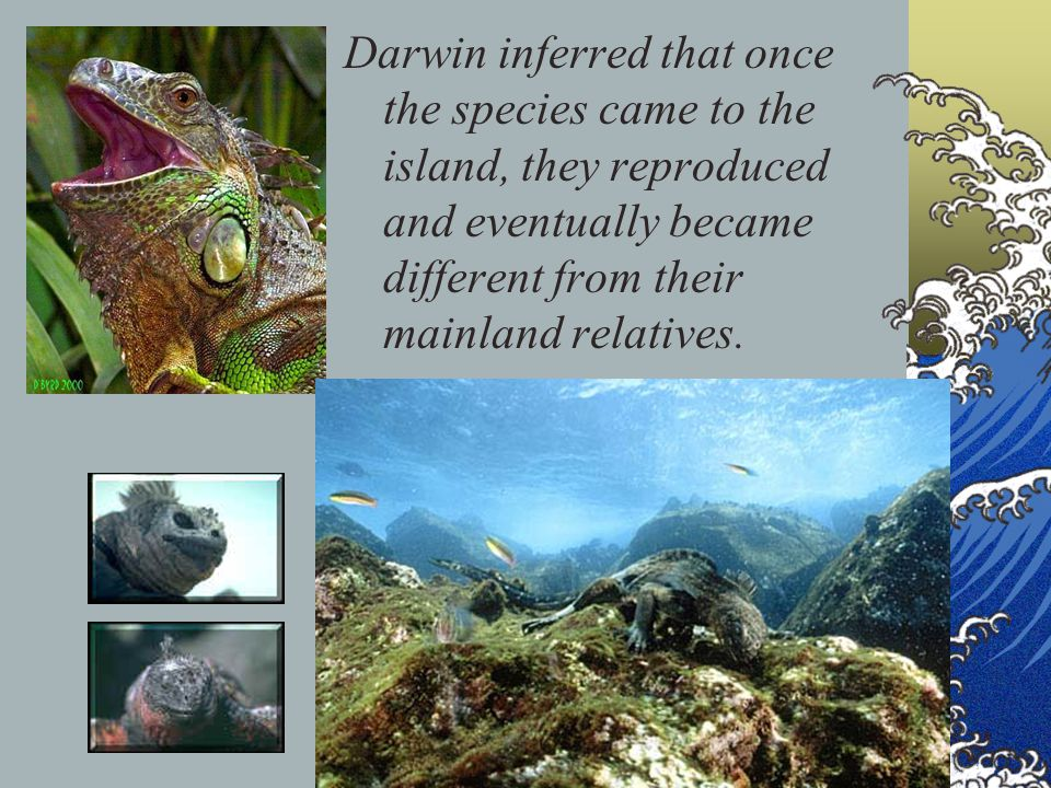 Darwin inferred that once the species came to the island, they reproduced and eventually became different from their mainland relatives.