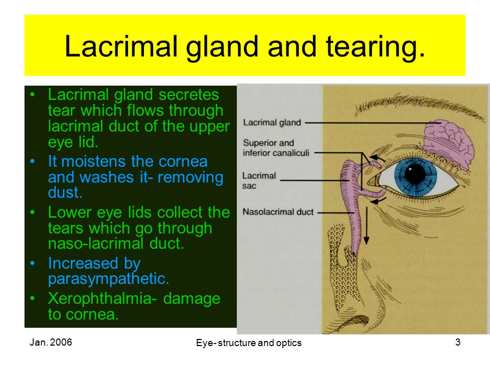 Lacrimal gland and tearing.