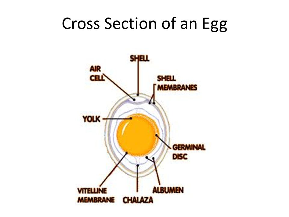 Cross Section of an Egg