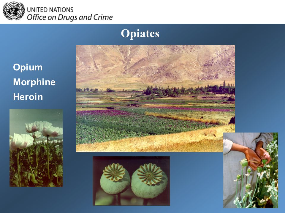 Opiates Opium Morphine Heroin
