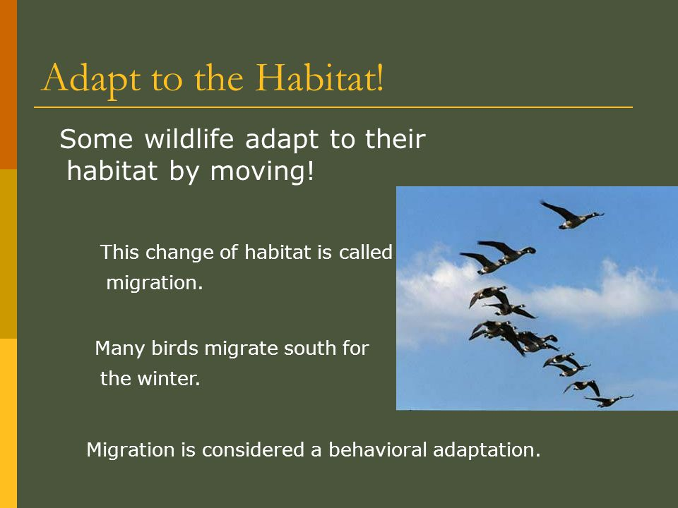 Adapt to the Habitat! Some wildlife adapt to their habitat by moving!