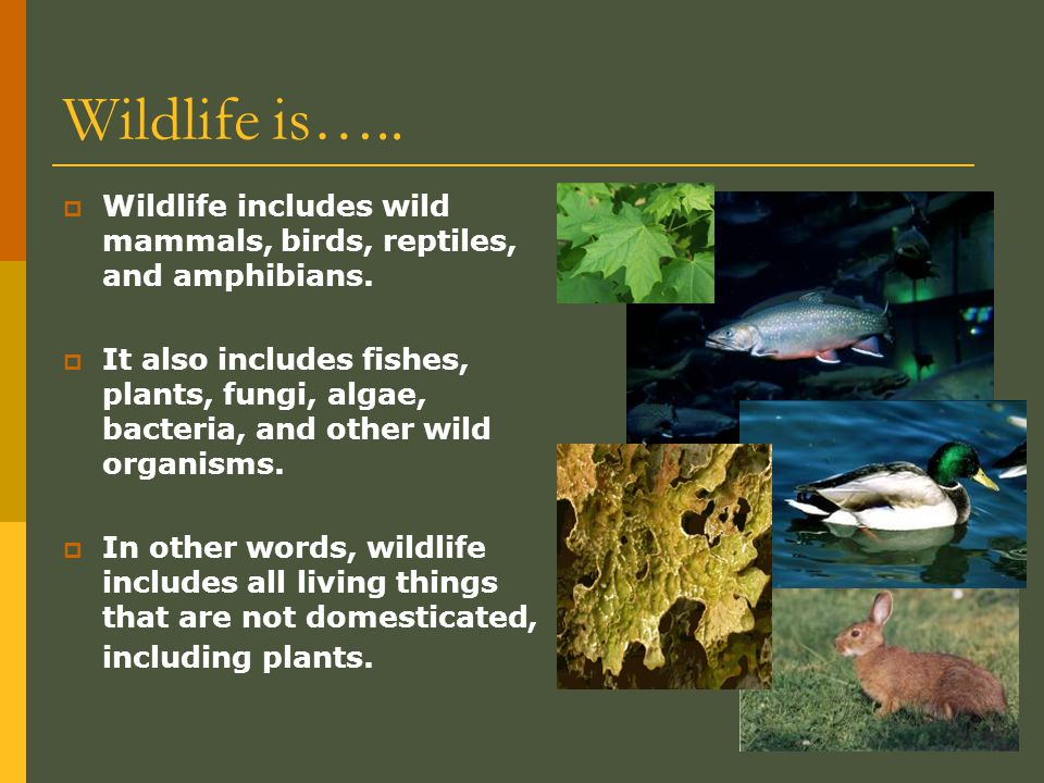 Wildlife is….. Wildlife includes wild mammals, birds, reptiles, and amphibians.