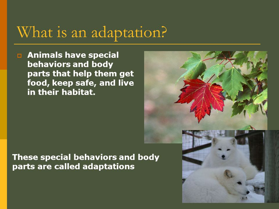 What is an adaptation Animals have special behaviors and body parts that help them get food, keep safe, and live in their habitat.