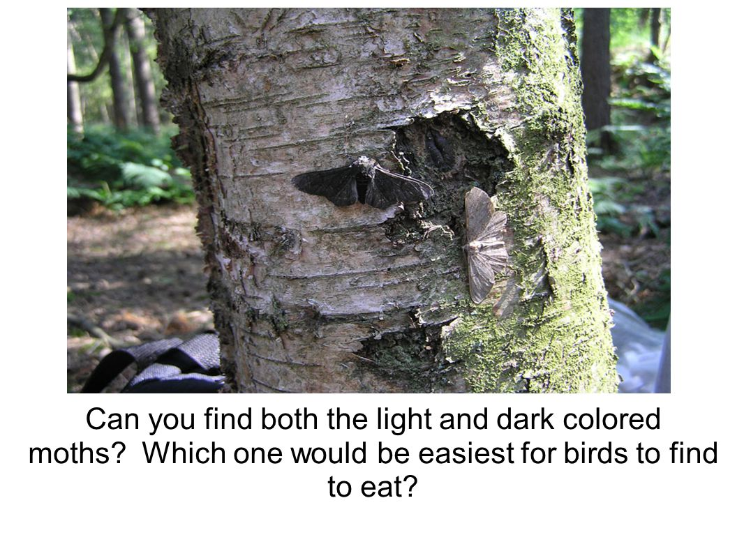 Can you find both the light and dark colored moths