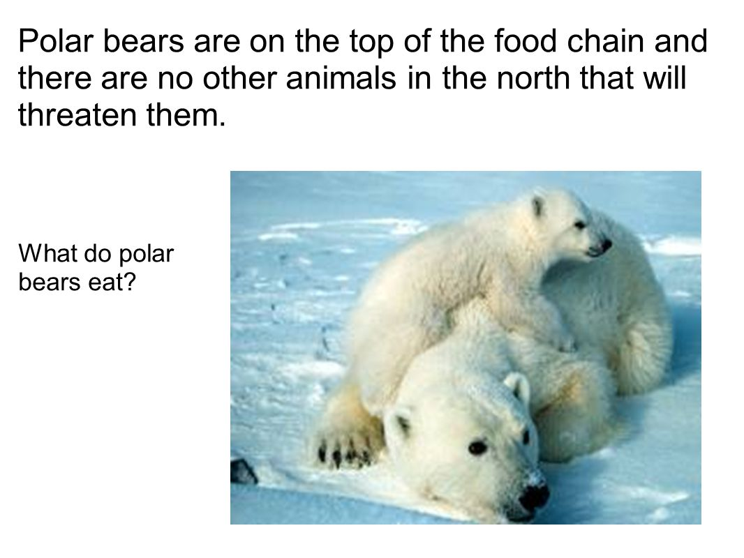 Polar bears are on the top of the food chain and there are no other animals in the north that will threaten them.