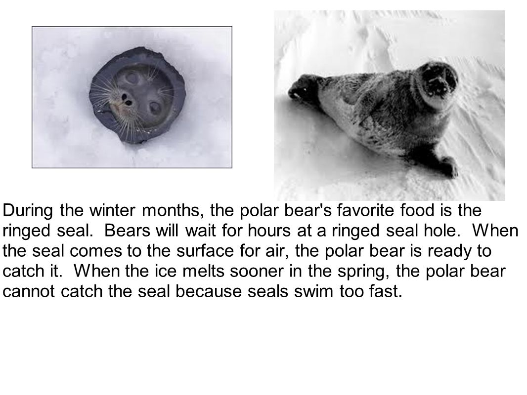 During the winter months, the polar bear s favorite food is the ringed seal. Bears will wait for hours at a ringed seal hole. When the seal comes to the surface for air, the polar bear is ready to catch it. When the ice melts sooner in the spring, the polar bear cannot catch the seal because seals swim too fast.