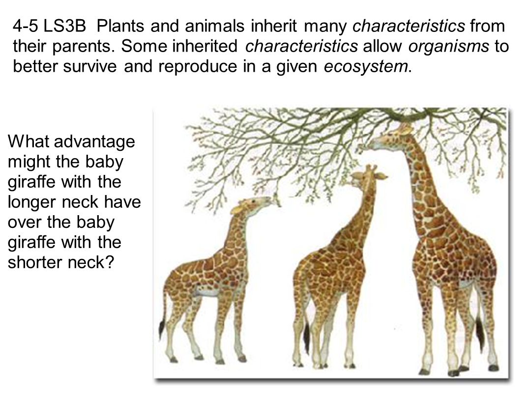 4-5 LS3B Plants and animals inherit many characteristics from their parents. Some inherited characteristics allow organisms to better survive and reproduce in a given ecosystem.