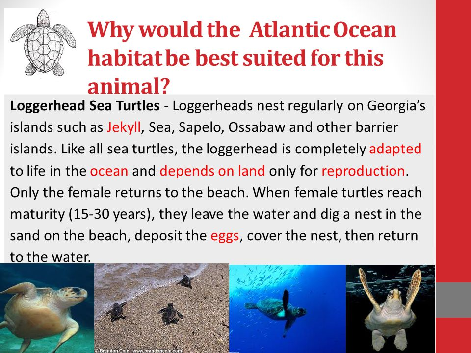 Why would the Atlantic Ocean habitat be best suited for this animal