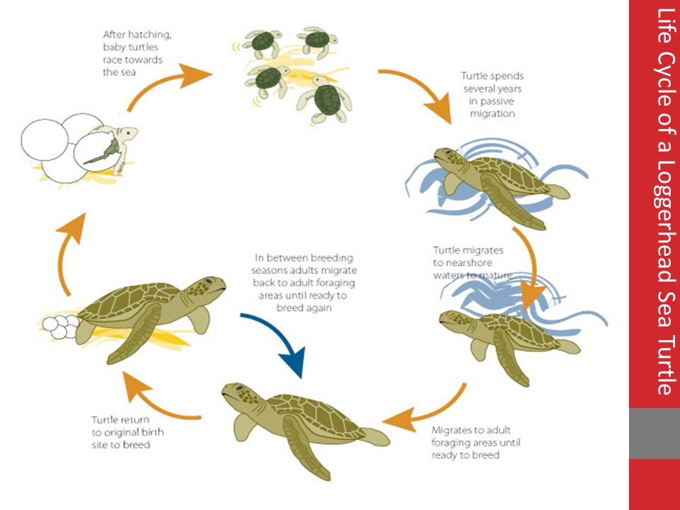 Life Cycle of a Loggerhead Sea Turtle