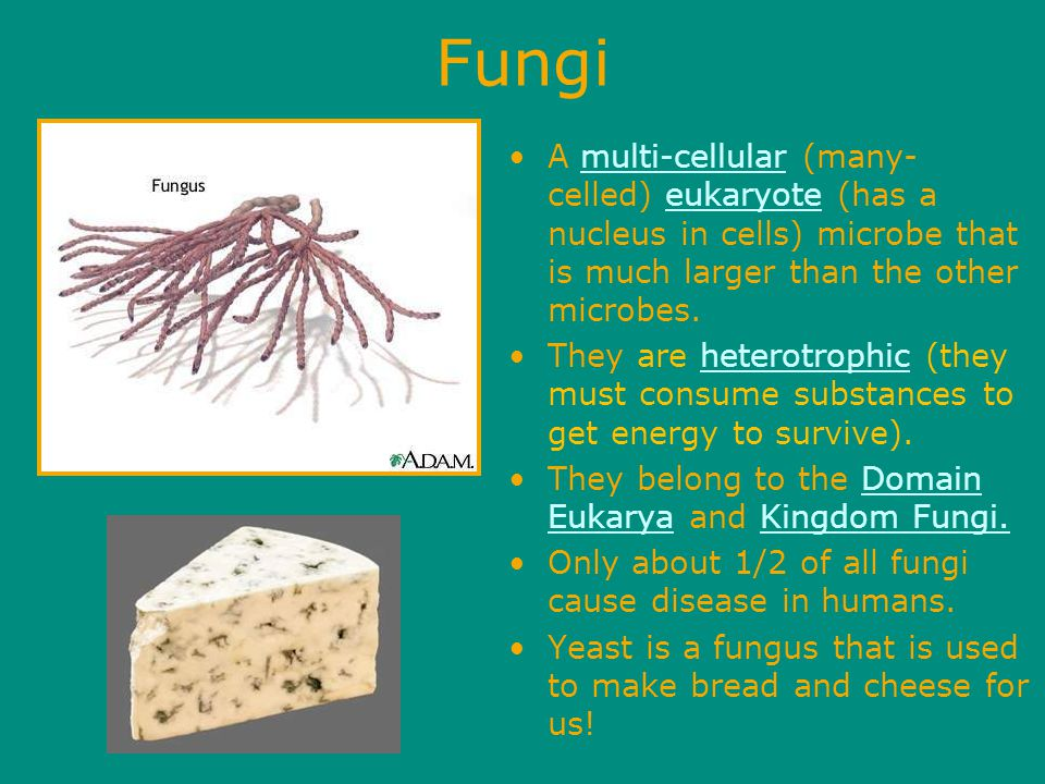 Fungi A multi-cellular (many- celled) eukaryote (has a nucleus in cells) microbe that is much larger than the other microbes.