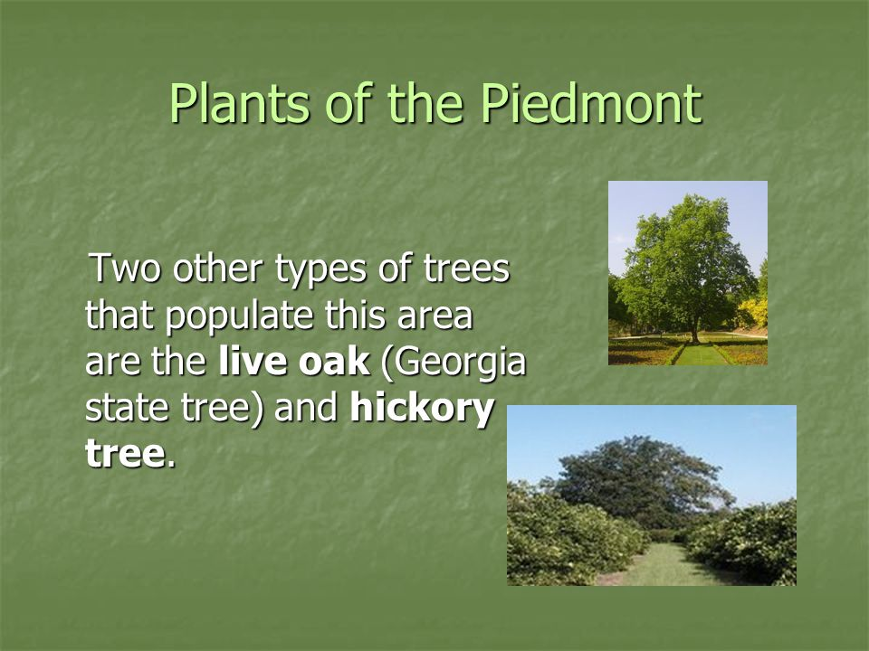 Plants of the Piedmont Two other types of trees that populate this area are the live oak (Georgia state tree) and hickory tree.