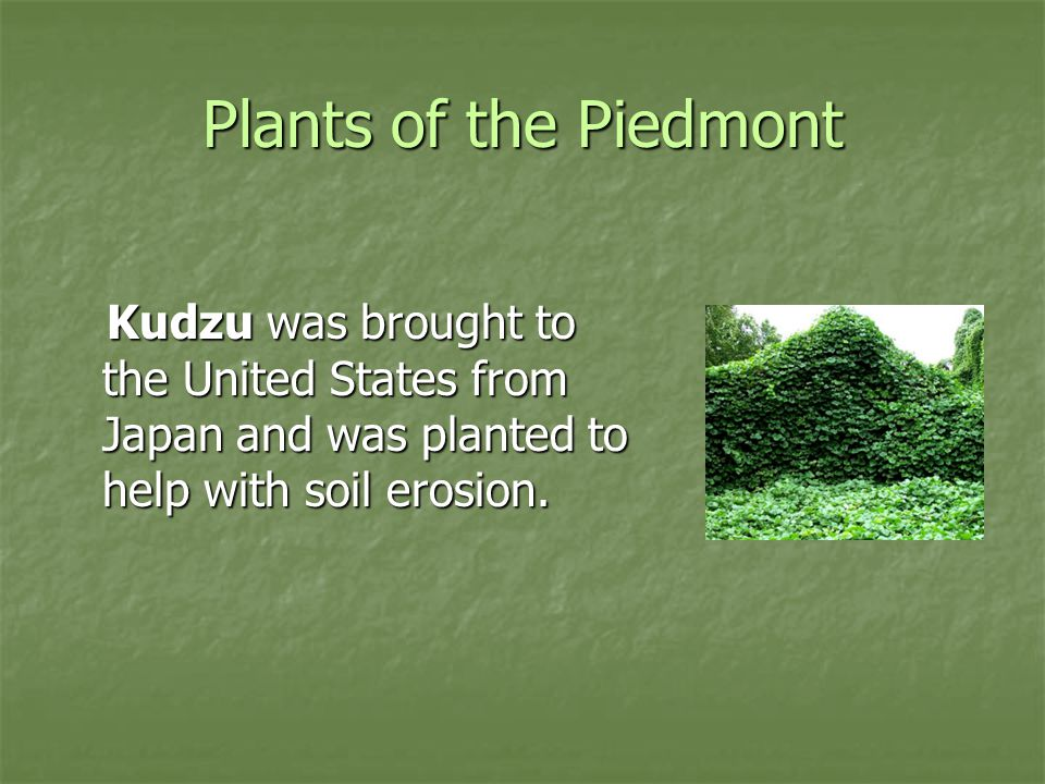 Plants of the Piedmont Kudzu was brought to the United States from Japan and was planted to help with soil erosion.