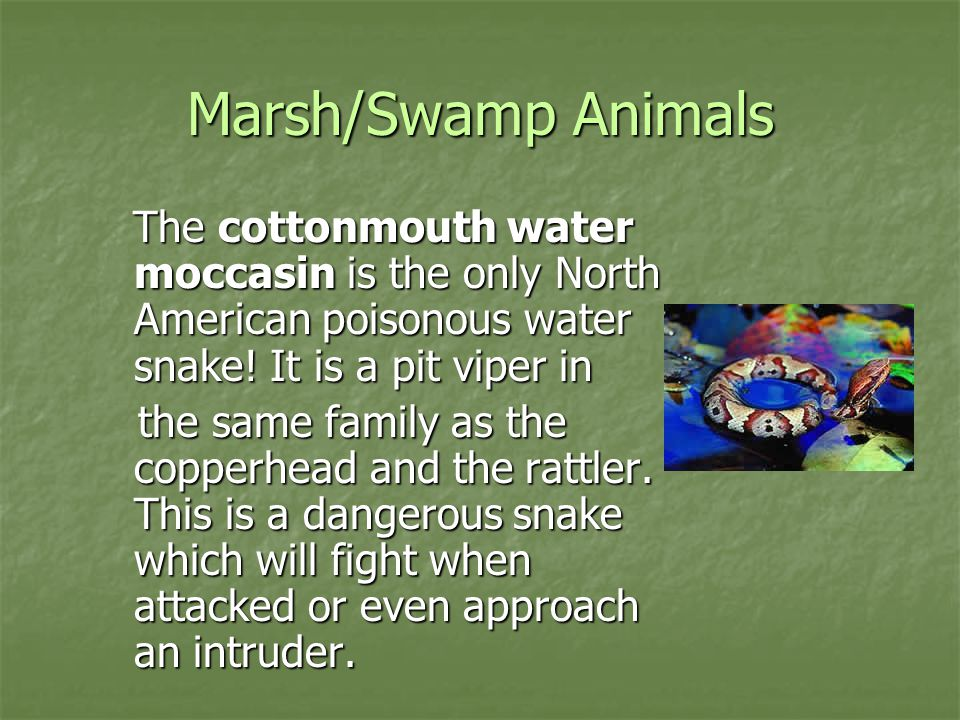 Marsh/Swamp Animals The cottonmouth water moccasin is the only North American poisonous water snake! It is a pit viper in.