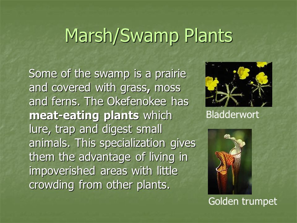 Marsh/Swamp Plants