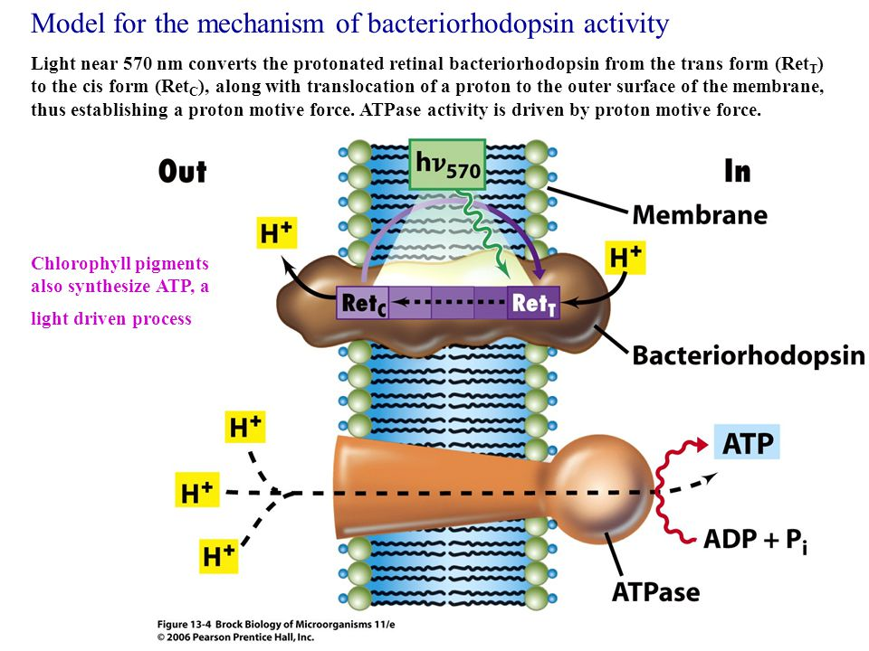 Model for the mechanism of bacteriorhodopsin activity