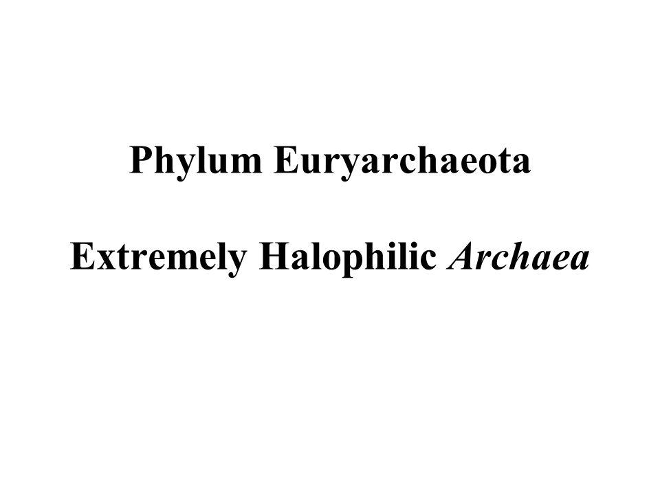Phylum Euryarchaeota Extremely Halophilic Archaea