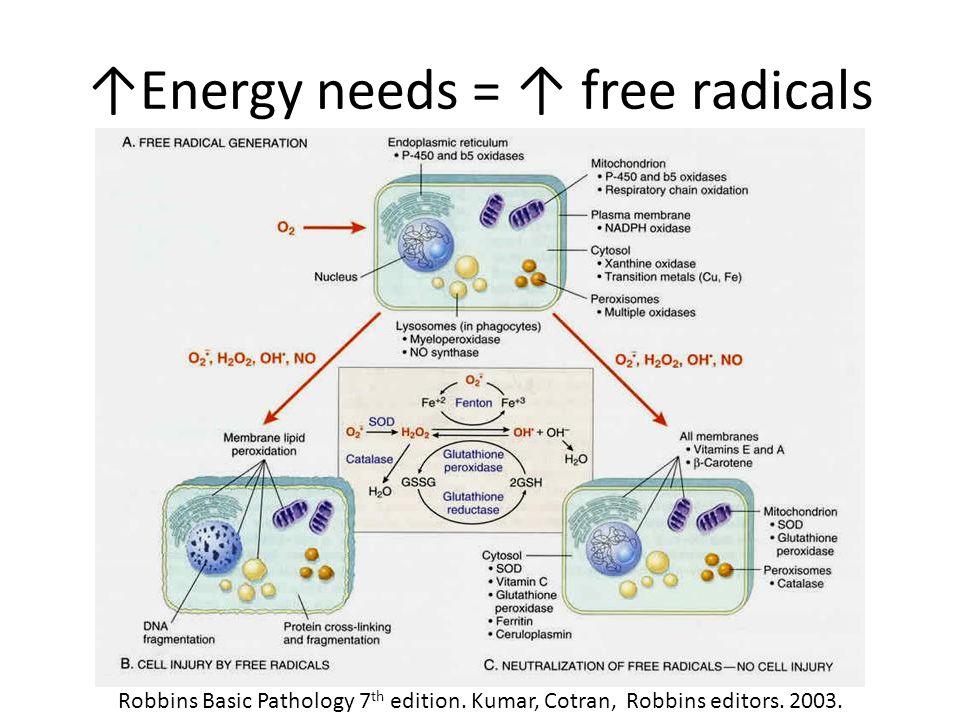 ↑Energy needs = ↑ free radicals