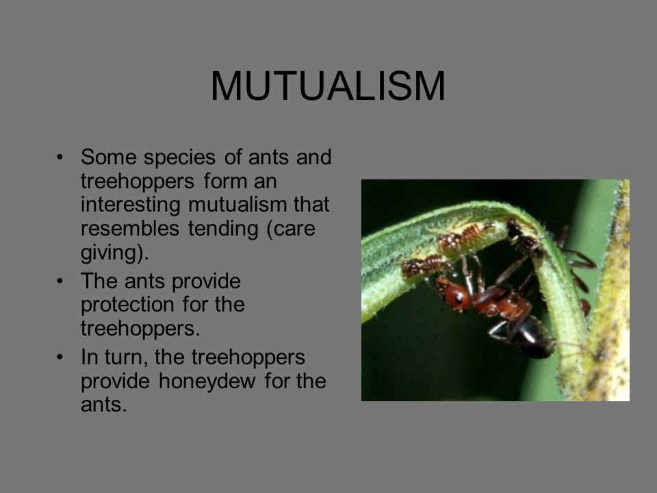 MUTUALISM Some species of ants and treehoppers form an interesting mutualism that resembles tending (care giving).