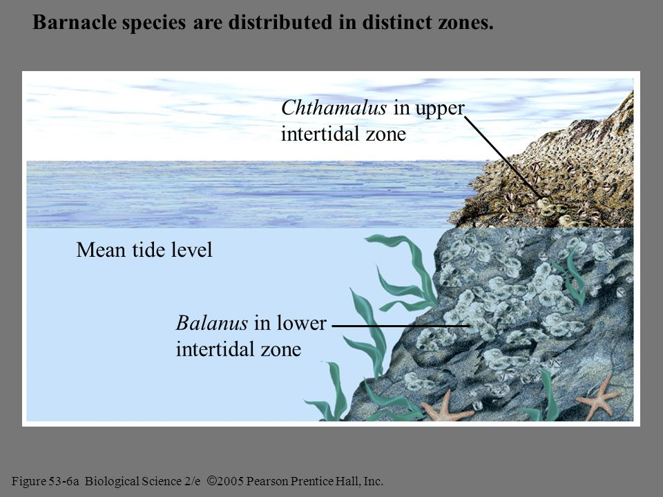 Barnacle species are distributed in distinct zones.