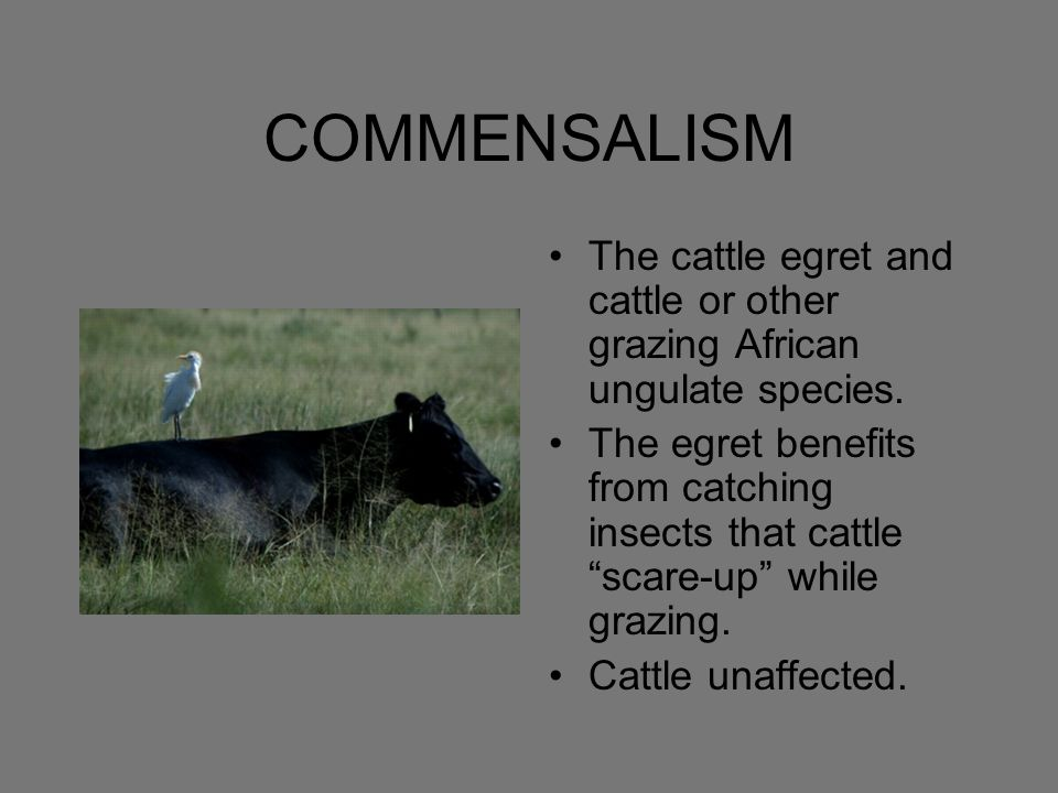 COMMENSALISM The cattle egret and cattle or other grazing African ungulate species.