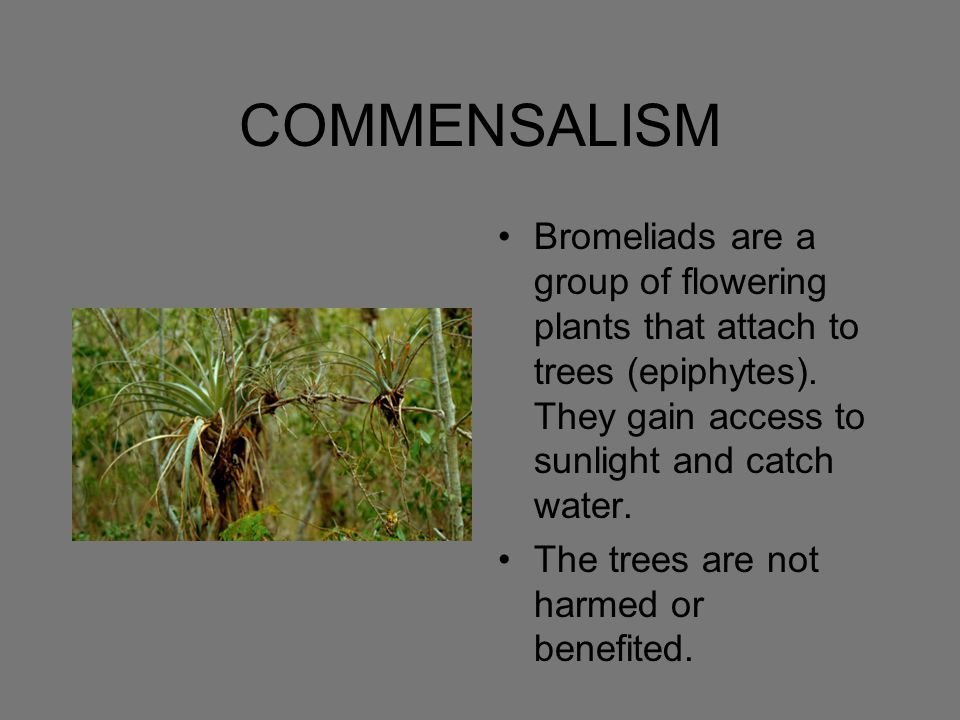 COMMENSALISM Bromeliads are a group of flowering plants that attach to trees (epiphytes). They gain access to sunlight and catch water.