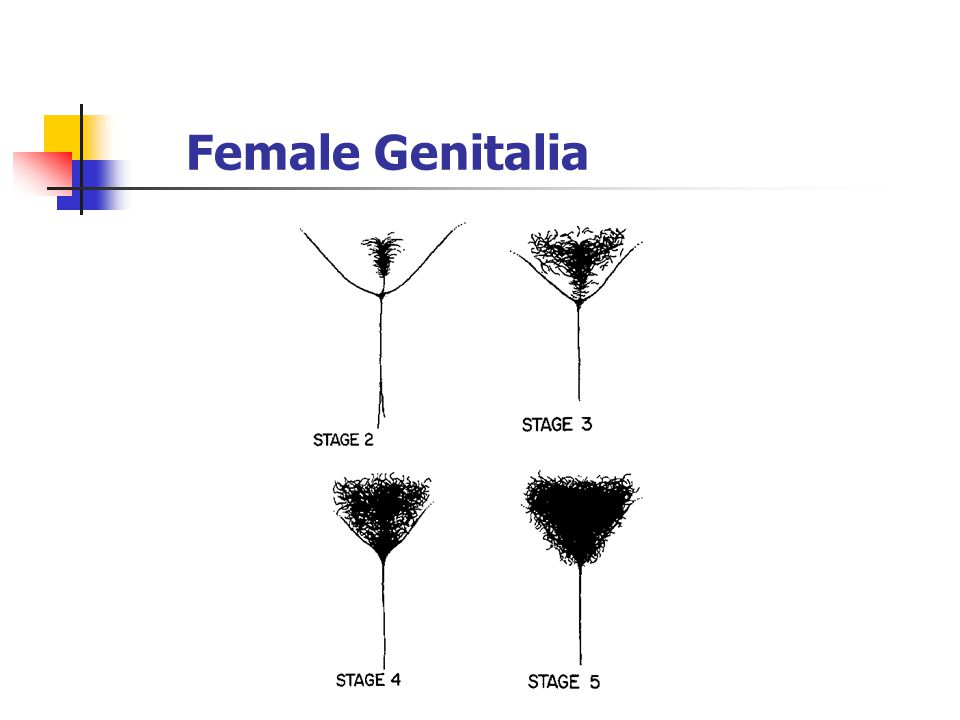 Female Genitalia