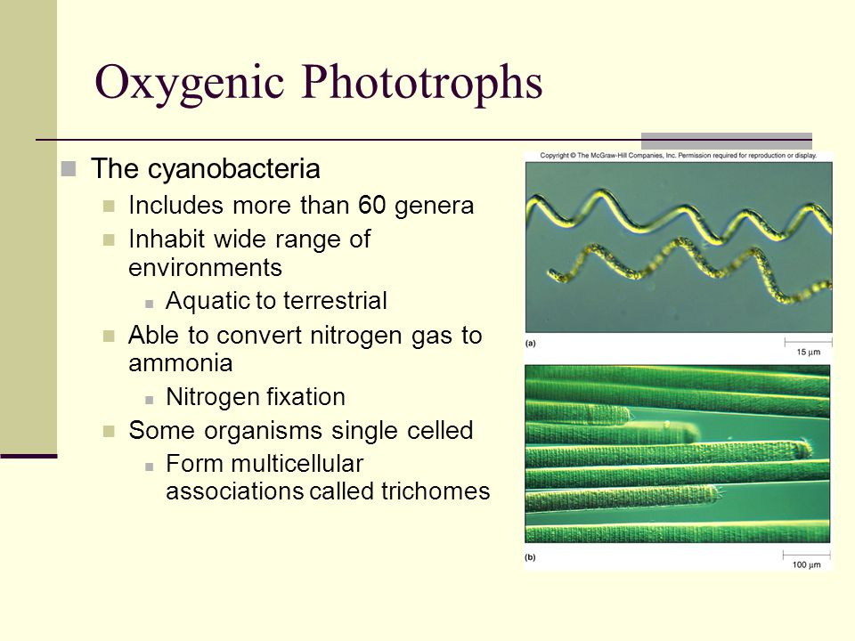 Oxygenic Phototrophs The cyanobacteria Includes more than 60 genera