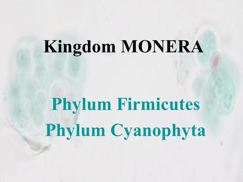 Phylum Firmicutes Phylum Cyanophyta