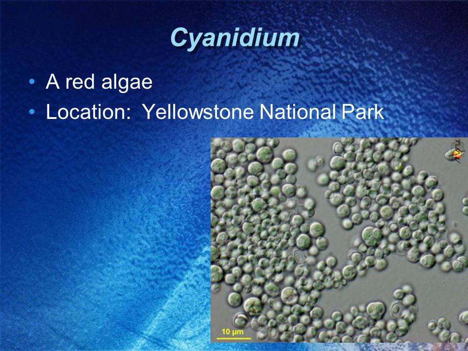 Cyanidium A red algae Location: Yellowstone National Park