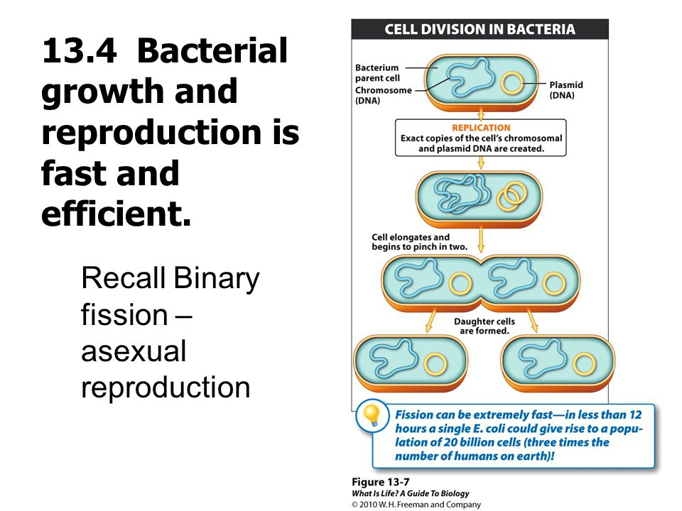 13.4 Bacterial growth and reproduction is fast and efficient.